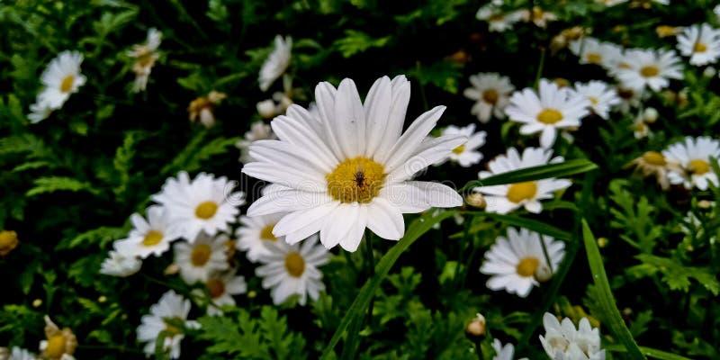 Uma mosca em uma margarida do boi-olho, flor branca nos arbustos imagem de stock royalty free