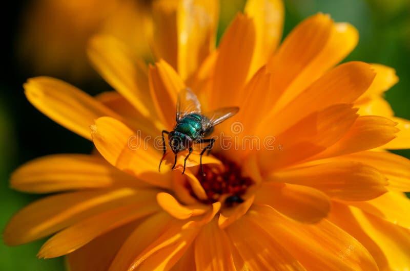 Uma mosca em uma pétala da margarida imagem de stock
