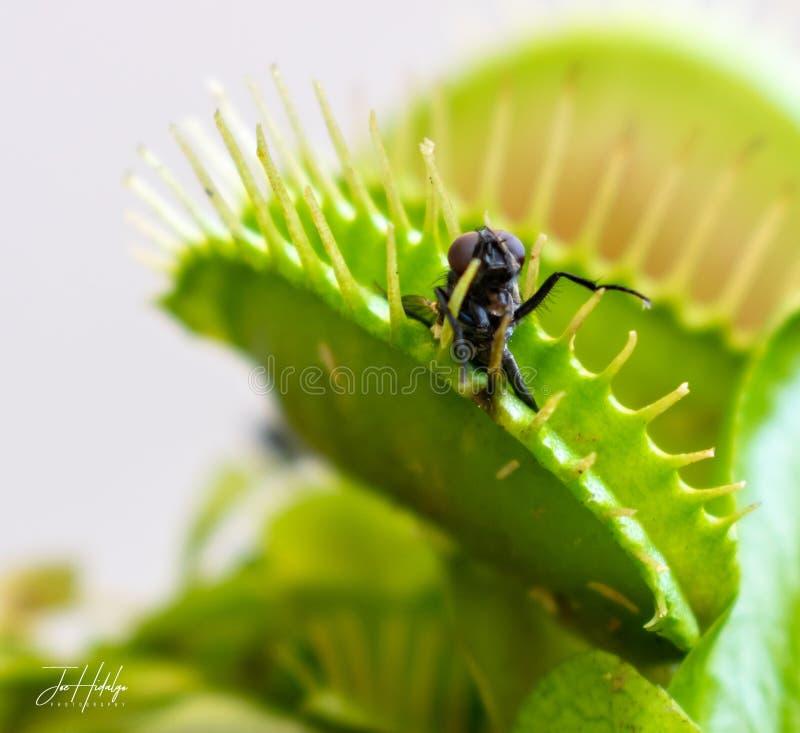 Uma mosca travada em Venus Flytrap imagens de stock