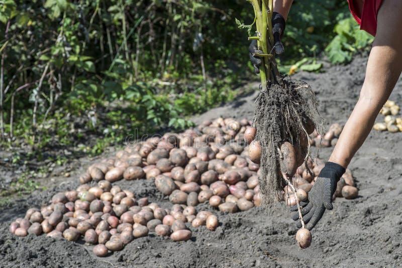 Uma mulher com uma luva de trabalho preta segura uma batata fresca Bush contra uma pilha de batatas colhidas imagem de stock royalty free