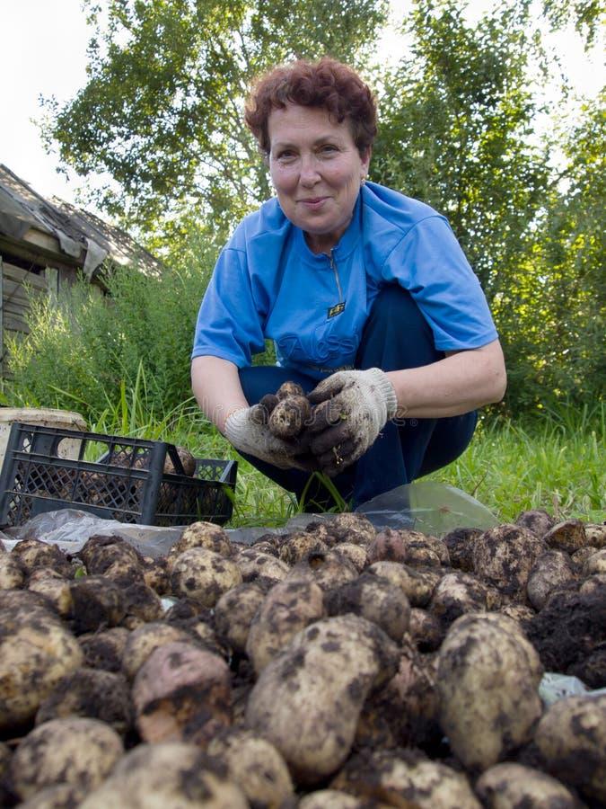 Uma mulher das pessoas idosas classifica uma colheita da batata fotos de stock