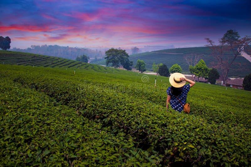 Uma mulher está viajando no campo da plantação de chá em Chiangrai fotos de stock