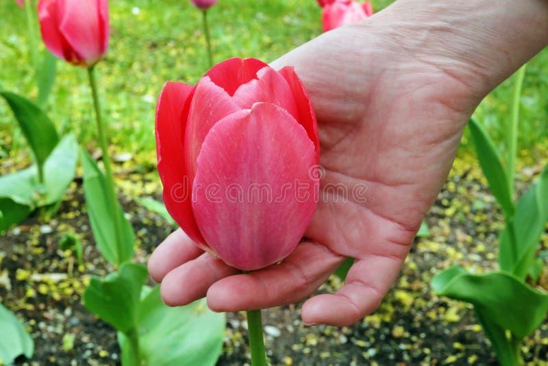 Uma mulher idosa delicadamente para guardar à disposição flores primeiras de uma tulipa do rosa da mola no canteiro de flores fotos de stock royalty free