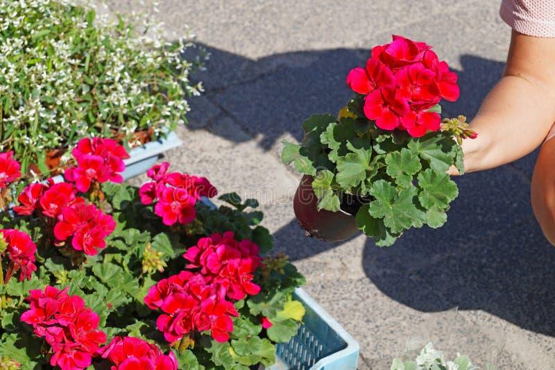 Uma mulher que escolhe flores do Pelargonium antes de comprar Sabido geralmente como gerânio, pelargoniums, ou storksbill Spring  imagens de stock royalty free