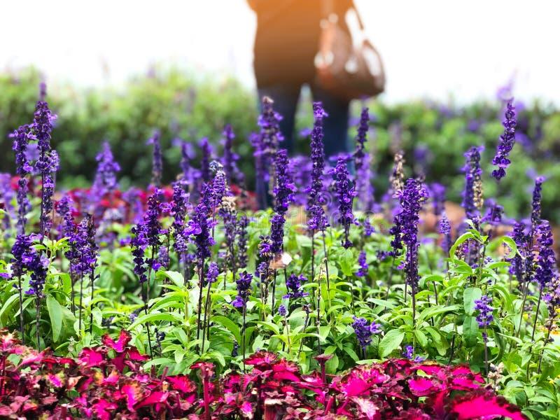 Uma mulher sozinha no campo de Lavender e flores coloridas no jardim com luz solar brilhando pela manhã fotografia de stock
