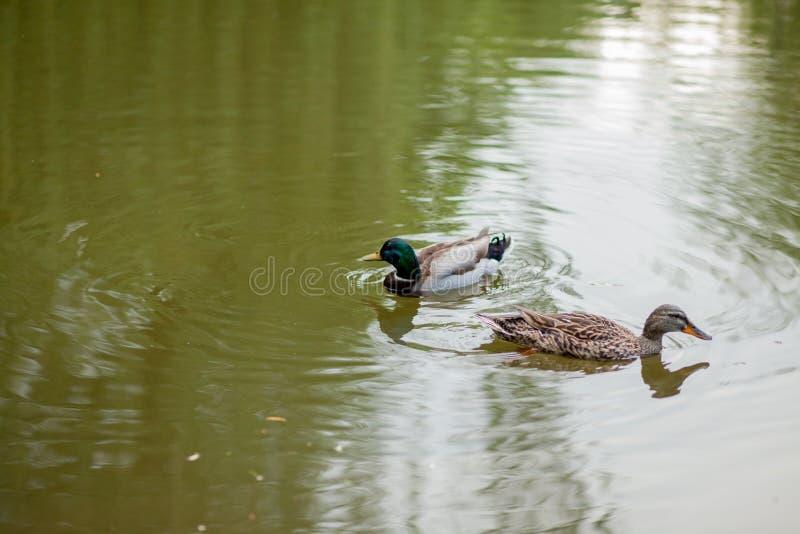 Uma nadada da galinha e do Drake Mallard Duck junto fotos de stock