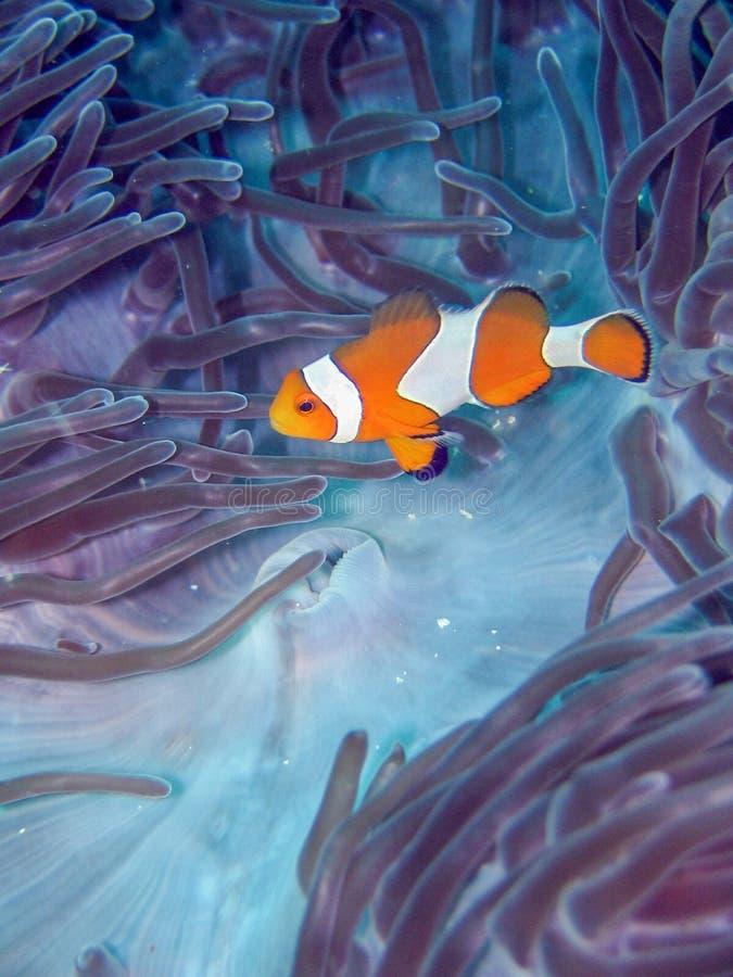Uma nadada dos clownfish perto do recife de corais subaquático fotografia de stock royalty free