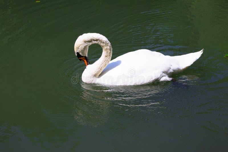 Uma natação branca da cisne em uma lagoa fotografia de stock