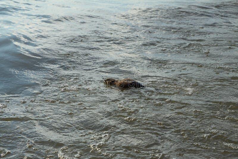 Uma natação do muskrat na água fotos de stock