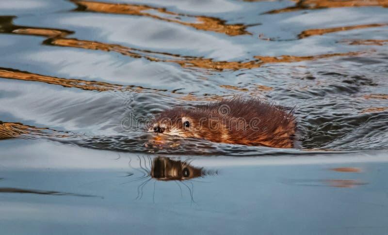 Uma natação do muskrat na água em um duri local da lagoa da reserva natural fotos de stock royalty free