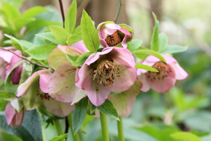 Uma neve-rosa ou flores do christrose na primavera imagens de stock