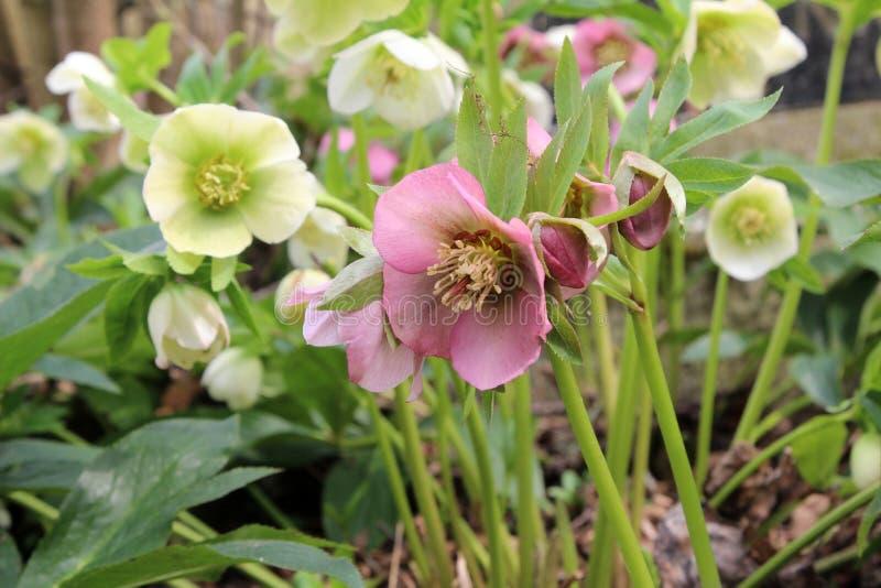 Uma neve-rosa ou flores do christrose na primavera fotografia de stock royalty free