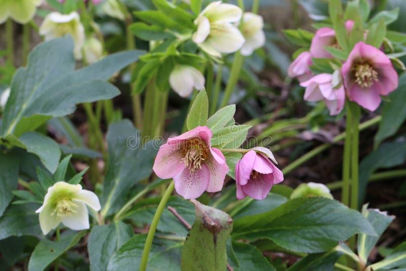 Uma neve-rosa ou flores do christrose na primavera imagem de stock royalty free