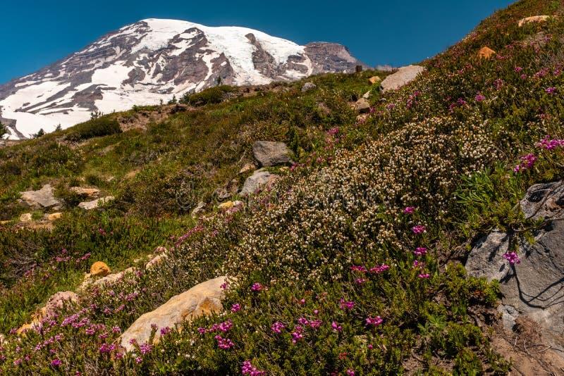 Uma neve tampou a montanha, o Monte Rainier, no tempo de mola com um campo de wildflowers da mola no primeiro plano imagens de stock
