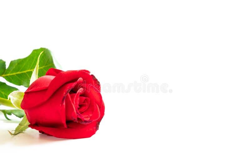 Uma ?nica rosa do vermelho no fundo branco imagem de stock royalty free