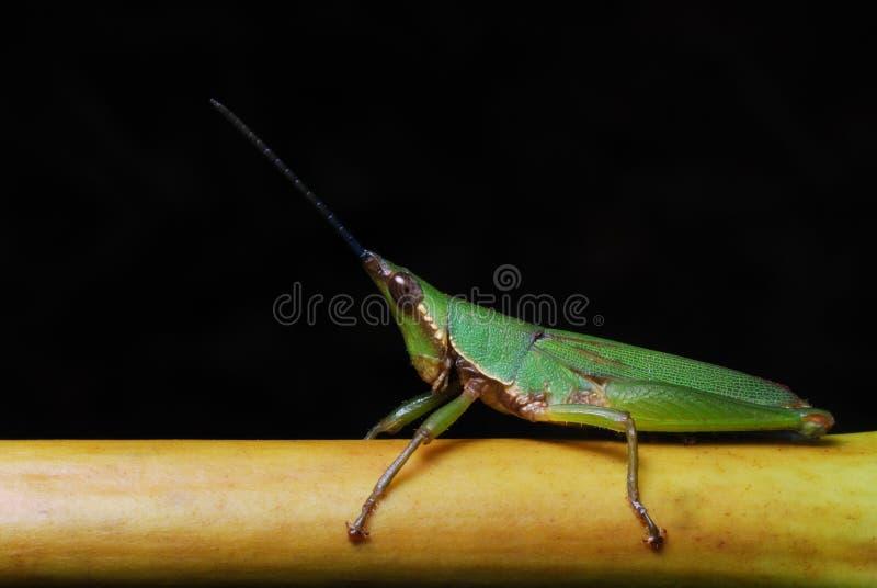 Uma ninfa horned curto verde do gafanhoto imagens de stock royalty free