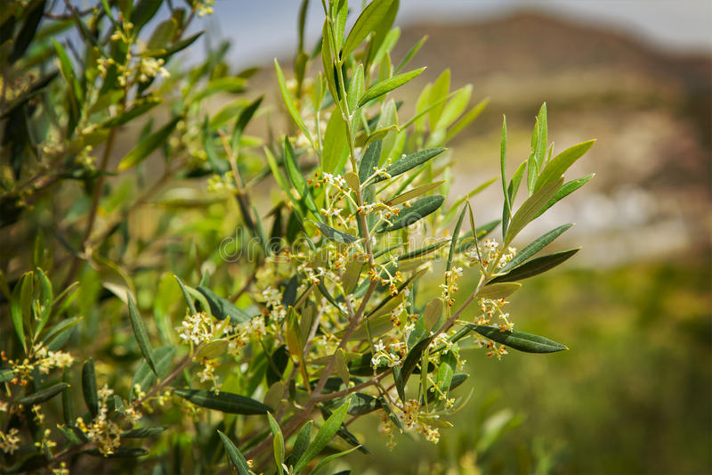 uma oliveira foto de stock