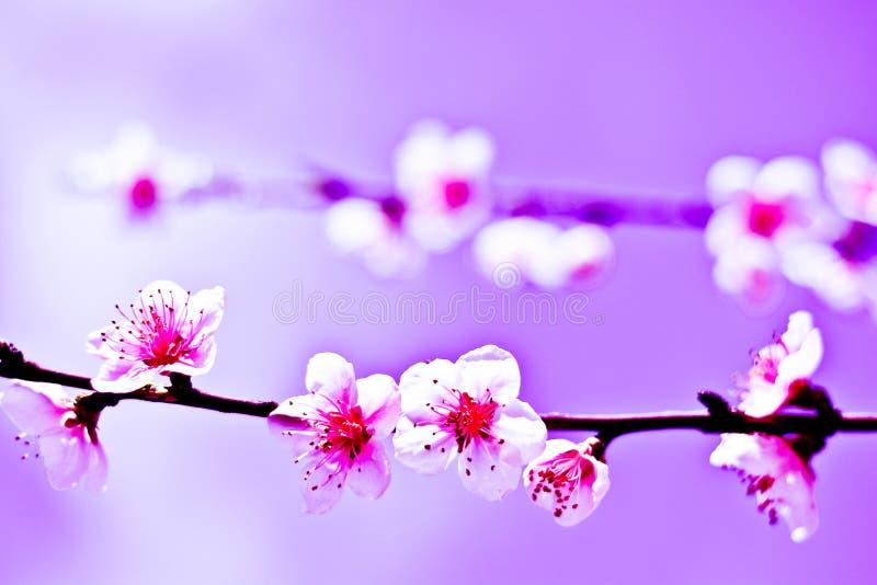 Uma onça das flores na mola, como um símbolo da paz foto de stock royalty free