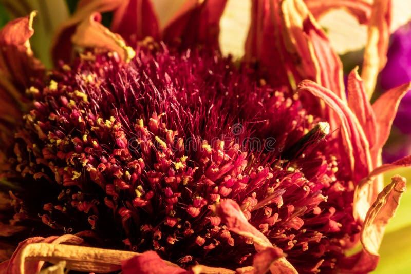 Uma opinião bonita do close-up em uma flor vermelha, alaranjada e amarela foto de stock