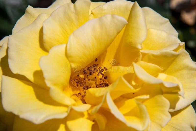 Uma opinião bonita do close-up em uma vista superior cor-de-rosa amarela imagem de stock royalty free