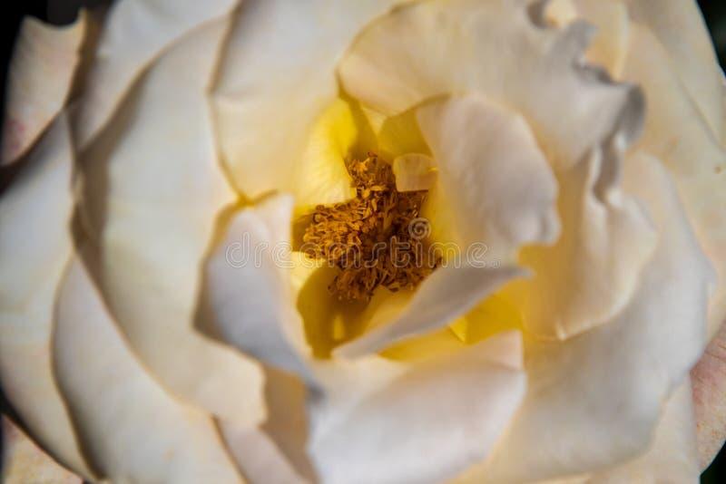 Uma opinião bonita do close-up em uma vista superior cor-de-rosa branca imagem de stock