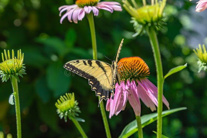 Uma opinião diferente a borboleta oriental do swallowtail do tigre em um campo do Echinacea Coneflowers foto de stock royalty free