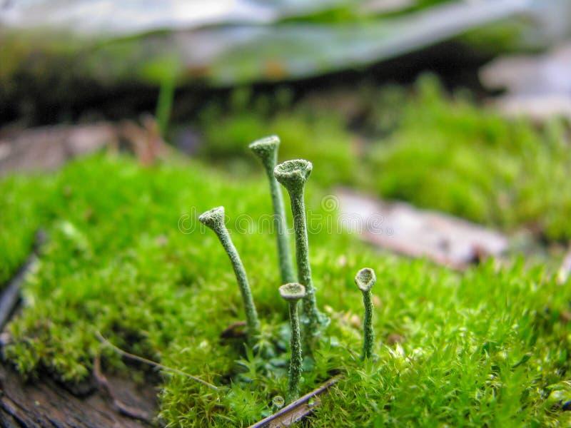 Uma opinião do close up de estranho fungo-como as plantas que estão de um musgo fotografia de stock