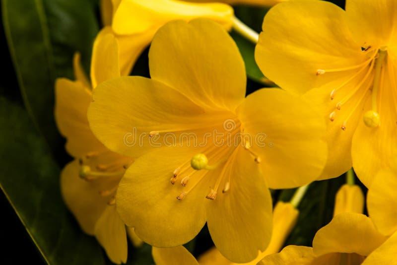 Uma opinião do close-up em flores amarelas com seus hino e filamento do estame imagem de stock