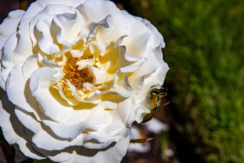 Uma opinião do close-up em uma rosa branca no jardim imagens de stock