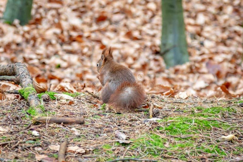 Uma opinião traseira um esquilo vermelho fotos de stock