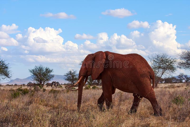 Uma opinião um elefante de passeio com presas e tronco Grama seca no safari africano com árvores e rebanho das zebras no fundo, a fotografia de stock