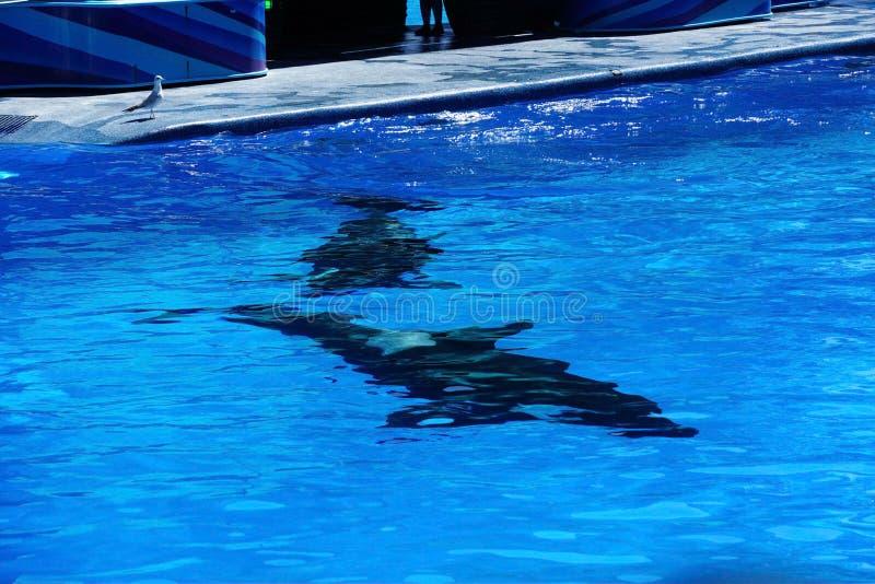 Uma orca que nada a vista subaquática como uma pintura abstrata imagem de stock royalty free