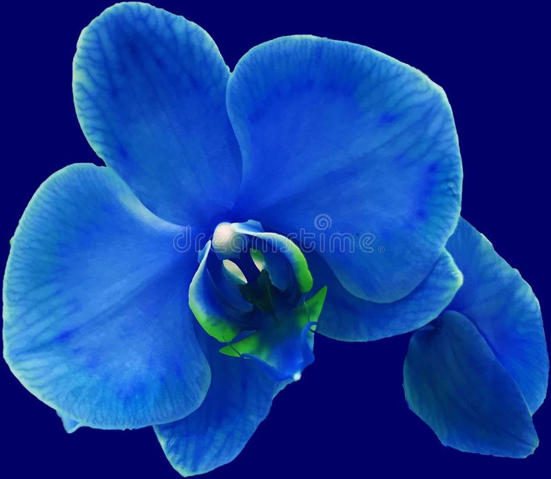 Uma orquídea azul gosta da noite imagens de stock