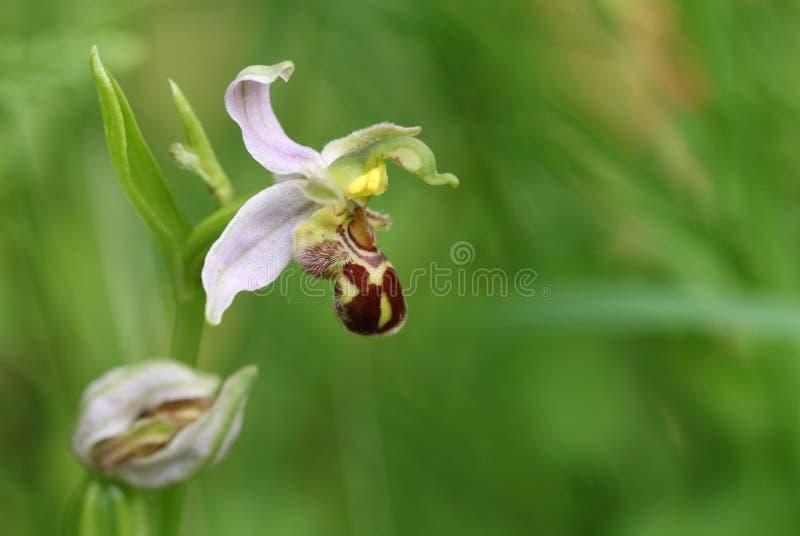 Uma orquídea de abelha bonita, apifera do Ophrys, crescendo em um prado no Reino Unido fotos de stock