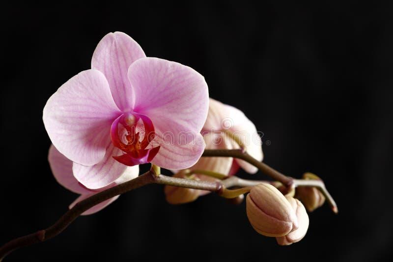 Uma orquídea de florescência cor-de-rosa imagem de stock