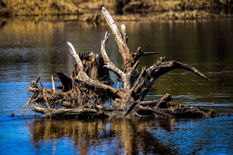 Uma outra imagem bonita das raizes que colam fora da água foto de stock