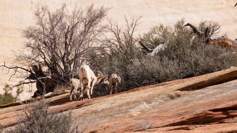 Uma ovelha horned grande dos carneiros do deserto e seus dois cordeiros alimentam em um arbusto que cresce das quebras no slickro fotos de stock royalty free
