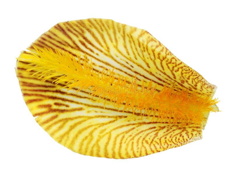 Uma pétala de uma flor real amarela da íris fotos de stock