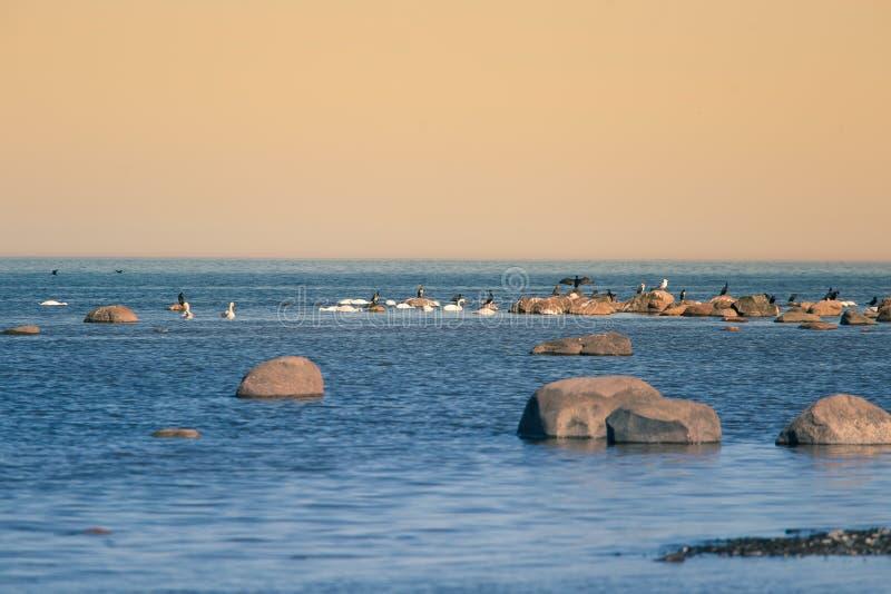 Uma paisagem bonita da mola na praia com uma colônia dos pássaros Cisnes, cormorões, gaivota que relaxam nas pedras na praia foto de stock royalty free