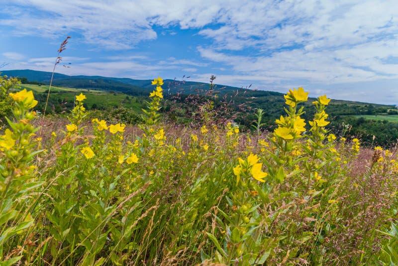 Uma paisagem de flores amarelas na grama contra o contexto das montanhas distantes sob o céu noturno imagens de stock royalty free