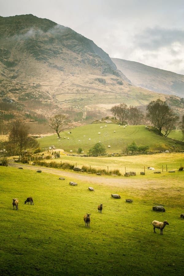 Uma paisagem irlandesa bonita da montanha na mola com carneiros imagem de stock