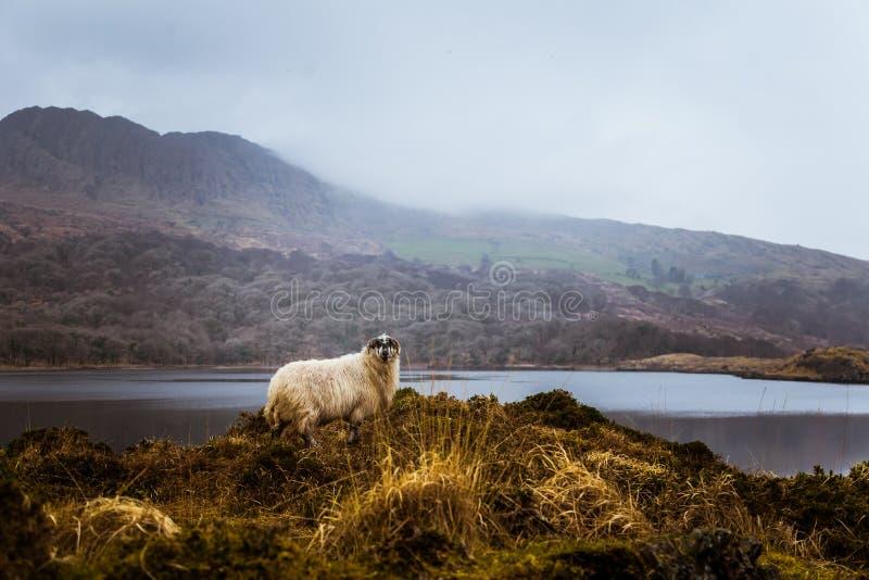 Uma paisagem irlandesa bonita da montanha na mola com carneiros imagens de stock