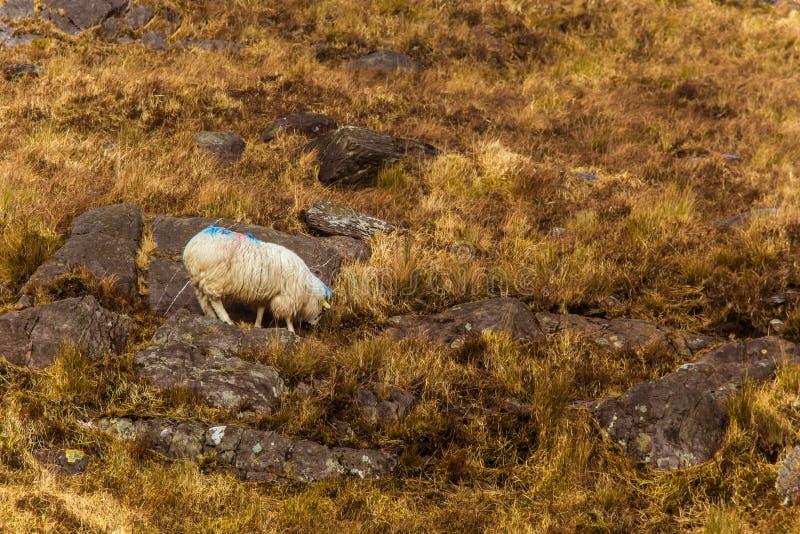 Uma paisagem irlandesa bonita da montanha na mola com carneiros foto de stock royalty free