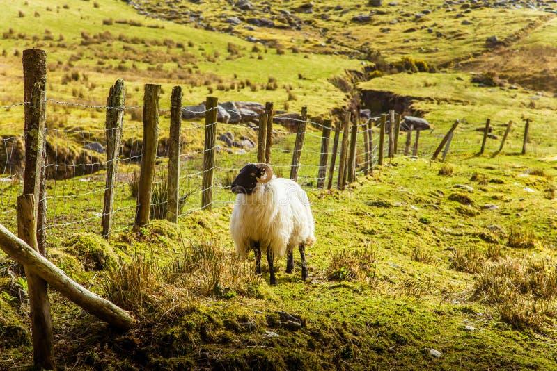 Uma paisagem irlandesa bonita da montanha na mola com carneiros foto de stock