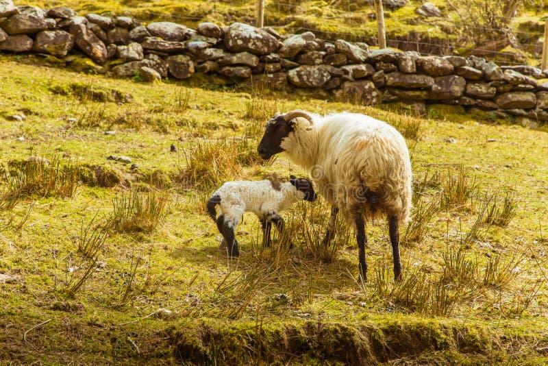 Uma paisagem irlandesa bonita da montanha na mola com carneiros imagens de stock royalty free
