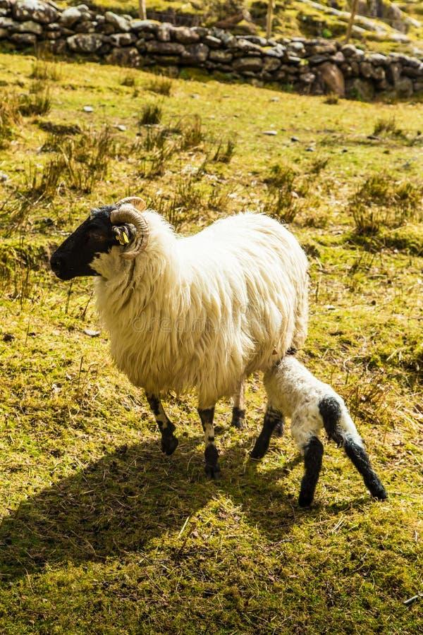 Uma paisagem irlandesa bonita da montanha na mola com carneiros fotos de stock