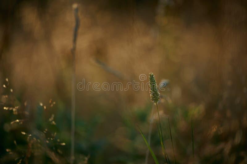 Uma palha da grama foto de stock