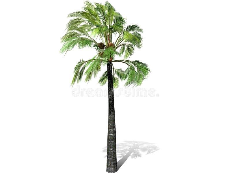 Uma palmeira alta isolada sobre um fundo branco fotografia de stock royalty free