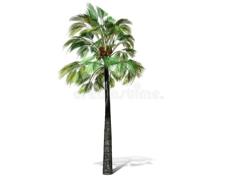 Uma palmeira alta isolada sobre um fundo branco imagens de stock