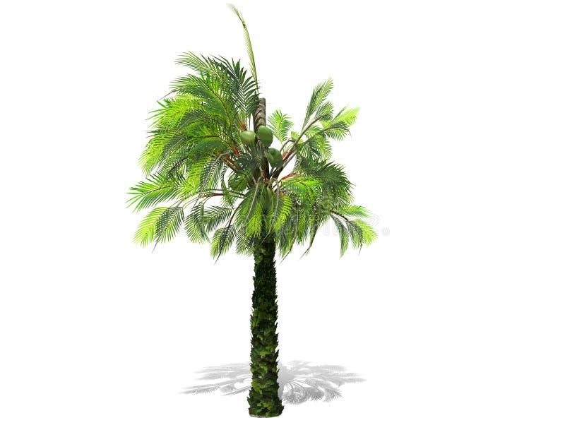 Uma palmeira alta isolada sobre um fundo branco ilustração do vetor